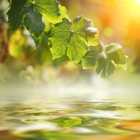 Grape leaves over water. Shallow DOF. Stock Photo