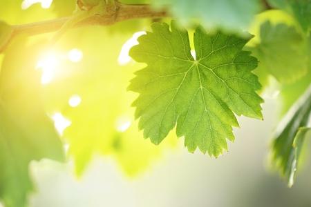 Zonnige druivenblad op grapevine. Macro close-up. ondiepe DOF. Stockfoto