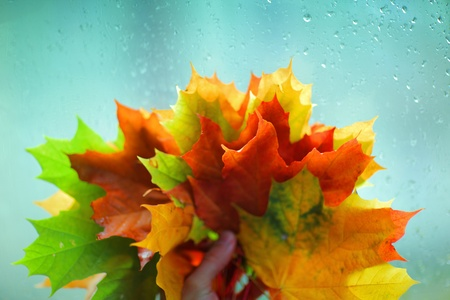 leaf close up: Bunch of colorful red, yellow and green autumn leaves over wet blue glass. Macro closeup.