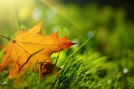 fallen leaves: Autumn leaf on green grass, macro closeup  Stock Photo