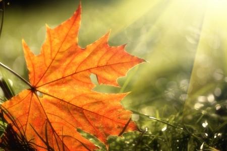 Autumn leaf on green grass, macro closeup  Stock Photo