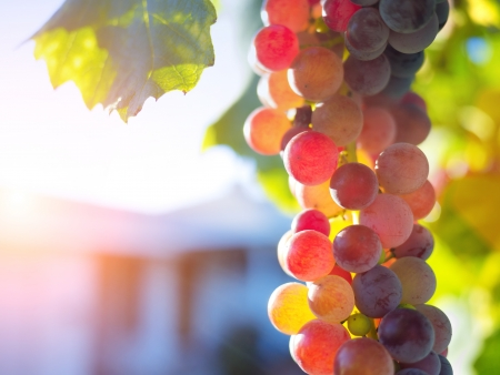 Colorful ripe grapes on grapevine. Macro closeup. photo