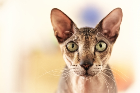 Retrato de gato Primer peterbald photo