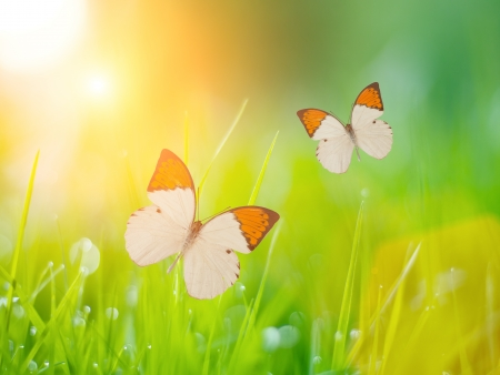 Butterflies over sunny green grass