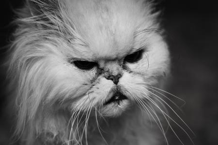 Portret van knorrige oude kat
