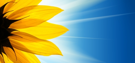 Sunflower flower over blue background photo