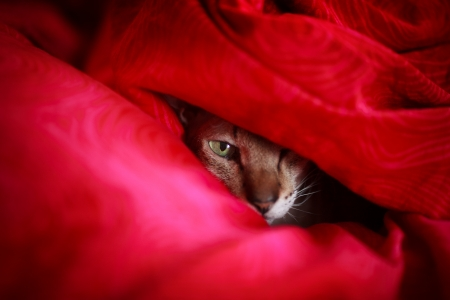 hiding face: Cat hiding in red blanket, looking at camera.