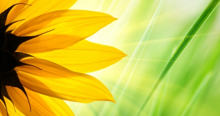 Sunflower flower over over green floral background photo