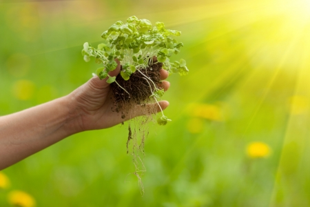Hands planting plant in soil ground Stock Photo - 24286203