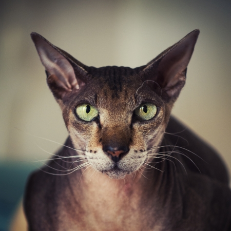 shallow focus: Closeup portrait of peterbald cat. Focus on eyes.