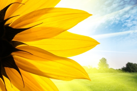 Sunflower flower over beautiful field landscape background photo
