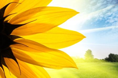 Zonnebloem bloem over het prachtige veld landschap achtergrond Stockfoto