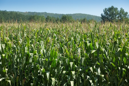Corn field growing in French countryside 版權商用圖片