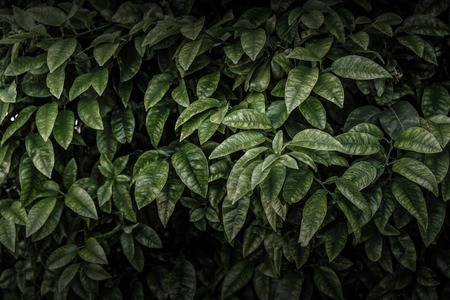 Dark green leaves wall abstract background