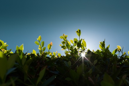 peaking: Sun peaking through green leaves fence against blue sky background