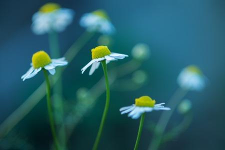 Daisy flowers macro closeup. Shallow DOF.