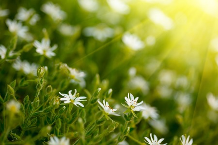 Field of beautiful white daisy flowers on sunshine background