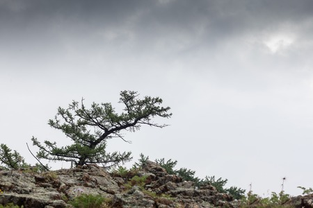 Pine tree growing on rock cliff mountain under stormy cloudy sky.