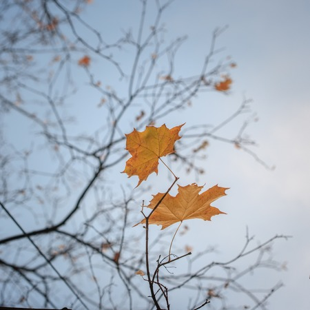 Two yellow autumn fall leaves hanging on leafless tree.