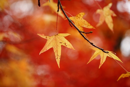 Yellow Autumn leaves over red foliage background