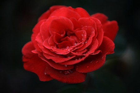 Beautiful red rose flower with water drops on petals. Macro, shallow DOF. photo