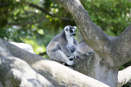 Ring-tailed lemur is the most terrestrial species of lemur. They are quite comfortable foraging on the forest floor as they are in the trees of Madagascar