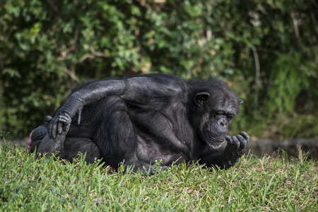 chimpances: Chimpanc� comprobar sus u�as