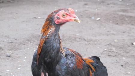Ayam Kampung, Big Rooster Stock Photo