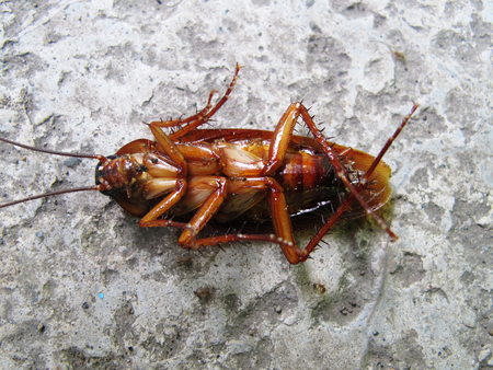 Brown cockroaches animal lie on the cement floor