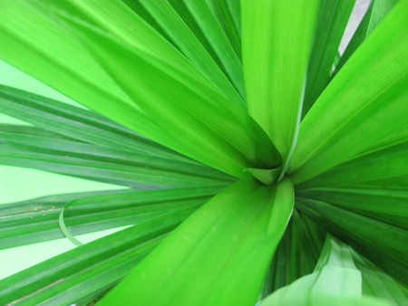 Pandan Leaf, Screw Palm or Pandanus Plant
