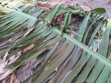 Torn banana leaves, lying on the ground Stockfoto