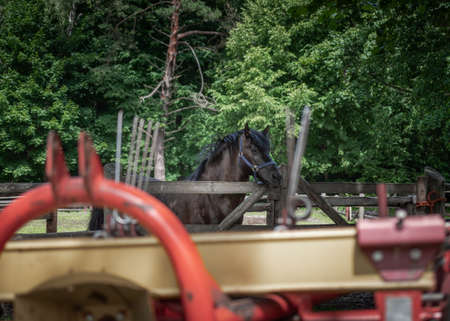 Stallion of polish Konik horse, seen in profile, standing in a paddock in horse breeding in Florianka, Zwierzyniec, Roztocze, Poland. Agriculture machinery in the foreground