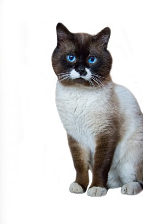 The isolated blue-eyed cat on a white background  Sits quietly