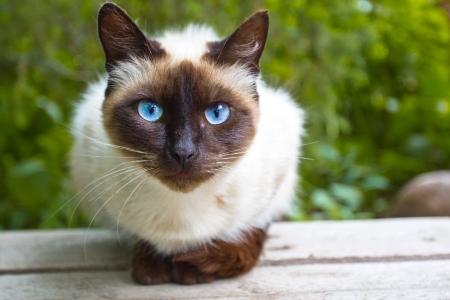 Sziámi macska óvatosan figyel, ül egy fapadon Stock fotó