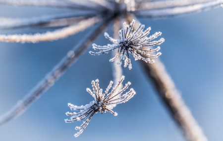 glistening: Ice crystals, which are located on the dried winter flowers