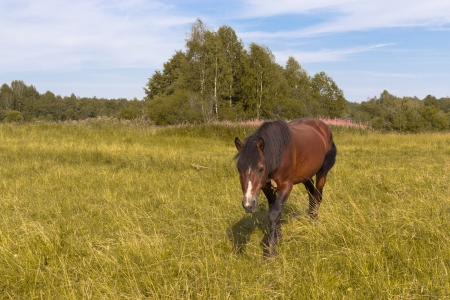 The horse is grazed on a golden meadow on a sunny day photo