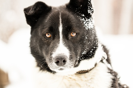 Beautiful dog standing under snowfall winter day Stock Photo - 17345217