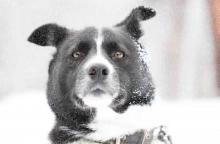 Beautiful dog standing under snowfall winter day Stock Photo - 17345219