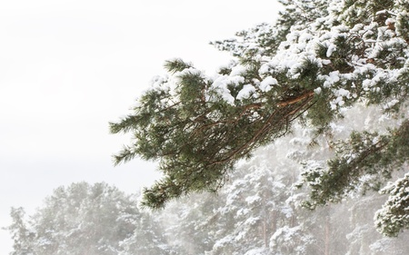 Snowy pine branch in winter pine forest Stock Photo - 17376002