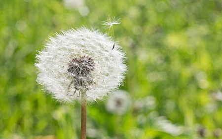 Dandelion seed flying away from home, outdoors macro