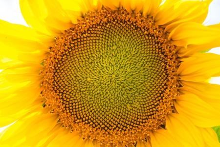 Napraforgó-termesztés a nap, szabadban lövés Stock fotó