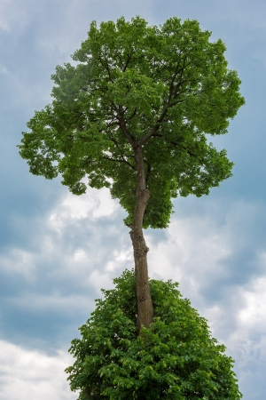 Coma of the tree grows from the leaves