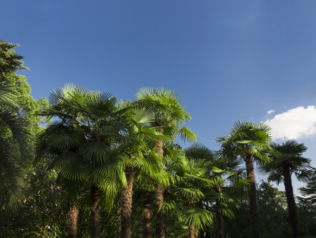 Bright tropical palm trees standing in the midday sun, outdoors shot photo