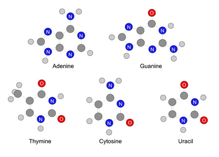 bases: Structural formulas of purine and pyrimidine nitrogenous bases  Illustration