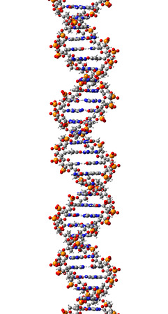 DNA molecule, structural fragment of B-form, 3D illustration Фото со стока