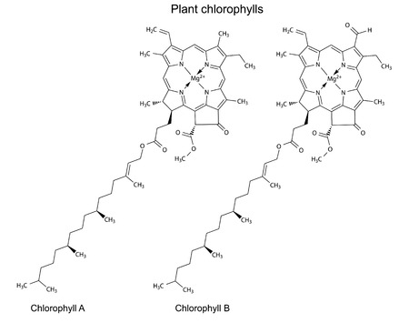 Structural chemical formulas of plant pigments chlorophylls, 2d illustration, vector, isolated on white background Vector