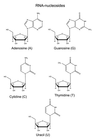 uracil: Structural chemical formulas of RNA nucleosides, 2d illustration, vector, isolated on white background