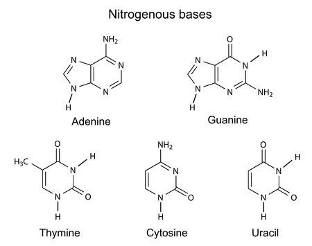Structural formulas of purine and pyrimidine nitrogenous bases of DNA, illustration, vector, isolated on white