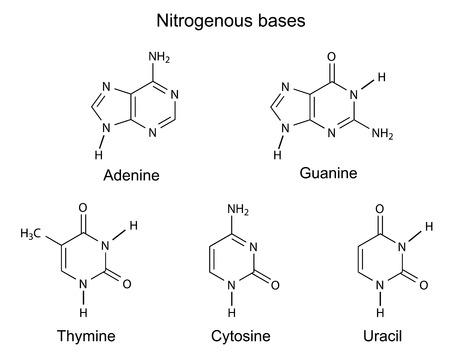 Strukturformeln von Purin-und Pyrimidin stickstoffhaltige Basen der DNA, Illustration, Vektor, isoliert auf weiß Standard-Bild - 27906165