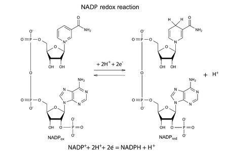 adenine: Illustration of NADP redox reaction with chemical formulas, vector, isolated on white Illustration